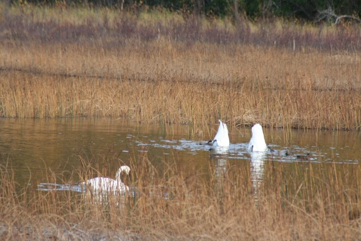 9-30-2012 swans_0008
