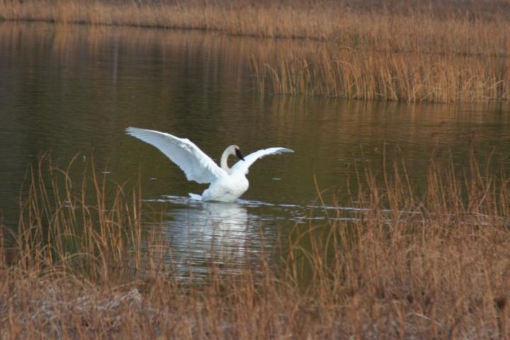 9-30-2012 swans_0023