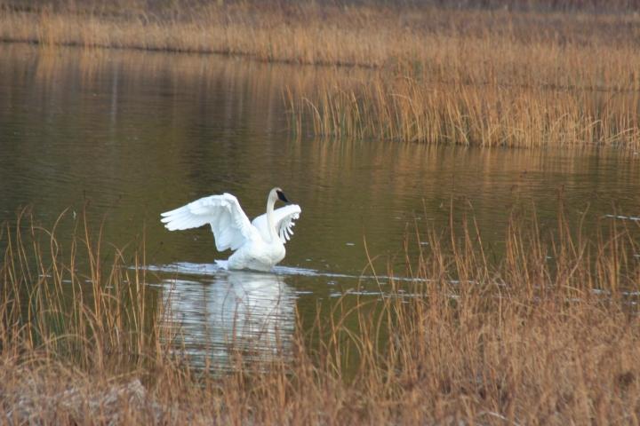 9-30-2012 swans_0024